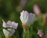 Evening Primrose 116 Stock Images
