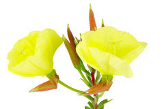 Evening primrose Stock Images