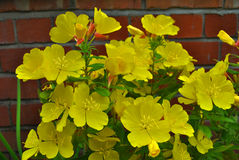 Evening Primrose Royalty Free Stock Image