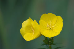 Evening primrose Royalty Free Stock Photos
