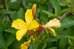 Evening primrose blossom Royalty Free Stock Images