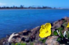 Evening Primrose by coast, San Diego, California Royalty Free Stock Photos