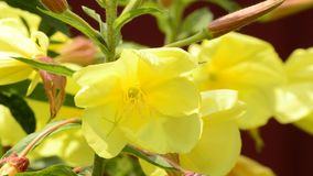 Evening primrose flower stock footage