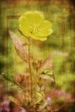 Evening Primrose Flower Stock Photos