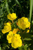 Evening primrose flowers. In a garden in morning sunlight Royalty Free Stock Photography
