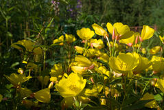 Evening primrose flowers. In a garden Royalty Free Stock Images