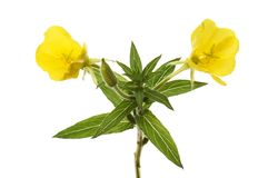 Evening primrose flower and foliage. Evening primrose flowers and foliage isolated against white Royalty Free Stock Photography