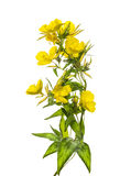Evening primrose flowers, isolated on white Royalty Free Stock Photo