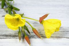 Free Evening Primrose, Lat. Oenothera Biennis, Flower In Detail On The Wooden Board Stock Photography - 77096642