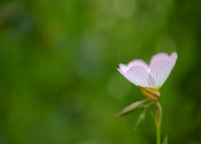 Evening Primrose Royalty Free Stock Images