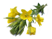 Evening primrose (Oenothera biennis) Stock Photos