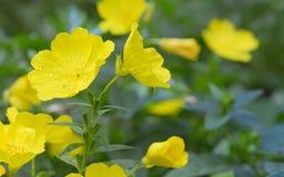 Evening primrose (Oenothera biennis) Stock Image
