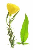 Evening primrose (Oenothera) Stock Photography