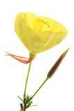 Evening primrose (Oenothera) Stock Image