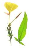 Evening primrose (Oenothera) Royalty Free Stock Photo