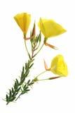 Evening primrose (Oenothera) Royalty Free Stock Photos