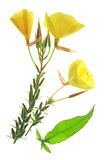 Evening primrose (Oenothera) Royalty Free Stock Image