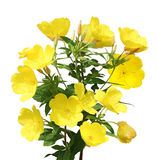 Evening Primrose stock image