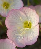 Evening primrose. This is a picture of evening primrose Stock Photography