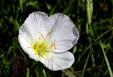 Evening Primrose Wildflower. Close-up of a pure white evening primrose wildflower, blooming in a green country field, on a dark green background royalty free stock image