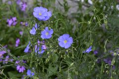 The flower evening primrose and blue flax. royalty free stock photos