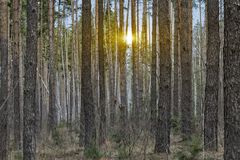 Evening red sun in the forest. Sunset in the spruce forest, morning in the forest, morning sun stock photography