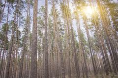 Evening red sun in the forest. Sunset in the spruce forest, morning in the forest, morning sun stock image