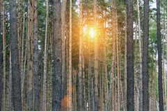 Evening red sun in the forest. Sunset in the spruce forest, morning in the forest, morning sun royalty free stock image