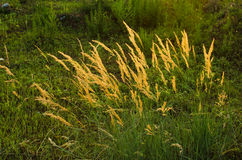 In the evening, reed sunset Royalty Free Stock Images