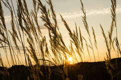 In the evening, reed sunset Royalty Free Stock Photo