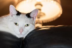 Evening relax on top of a couch. White cat with black stripes on head laying on the top of a sofa looking into the camera with turned on table lamp in the stock images