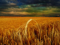 Evening on a  rye field Stock Photography