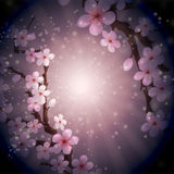 The evening sakura Royalty Free Stock Photography