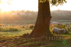 Evening scratch. A sheep makes use of a fallen gate post on a beautiful summer's evening Royalty Free Stock Photo