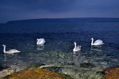 Evening sea swans Royalty Free Stock Images