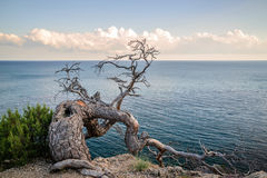 Evening seascape. Lonely dry tree at the edge of rocky cliffs on the background of blue sea Stock Photos