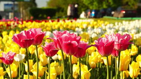 Pink and yellow tulips on the city lawn. Evening shot of the pink and yellow tulips swaying in the wind in the rays of setting sun and walking people on the stock video footage