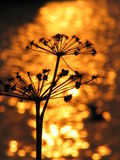 Evening silhouette. Plant on a background of the sunset stock photo