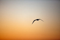 Evening Sky with Seagull Royalty Free Stock Photo
