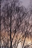 Evening sky. Sunset colors. Birch in November. Tree branches. Nature graphics royalty free stock photo