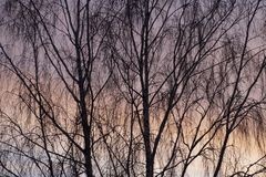 Evening sky. Sunset colors. Birch in November. Tree branches. Nature graphics stock photo