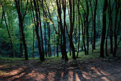 Evening in spring wood: bright young green trees, the sun sets and the black trunks of trees falling long shadows, warm pink light Royalty Free Stock Photos