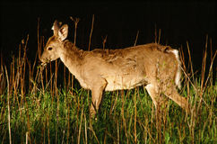 Evening Strolling Whitetail Deer Royalty Free Stock Photo