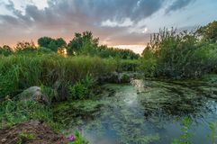 Evening summer landscape. Beautiful view from the coast to the overgrown marshy pond Royalty Free Stock Images