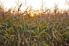 Evening sun behind corn field Royalty Free Stock Images