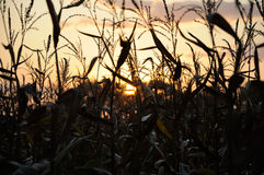 Evening sun behind corn field Royalty Free Stock Photo