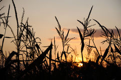 Evening sun behind corn field Royalty Free Stock Image