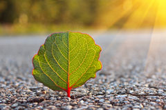Evening sun with green leaf Royalty Free Stock Photo