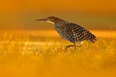 Evening sun, Rufescent Tiger-Heron, Tigrisoma lineatum, motteled bird with evening back light, in the nature habitat, Pantanal, Br. Azil Stock Images