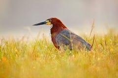 Evening sun, Rufescent Tiger-Heron, Tigrisoma lineatum, motteled bird with evening back light, in the nature habitat, Pantanal, Br. Azil. Bird in grass Royalty Free Stock Photos